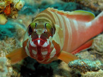 blacktip grouper fasciatus epinephelus Στοκ εικόνες με δικαίωμα ελεύθερης χρήσης