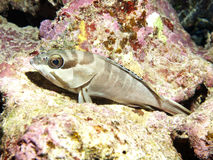 Blacktip grouper Royalty Free Stock Images