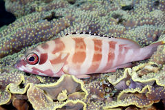 Blacktip Grouper resting on Coral Stock Photography