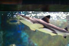 Blacktip Haifisch lizenzfreie stockfotos