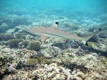 Blacktip Haifisch in Maldives Lizenzfreie Stockfotos