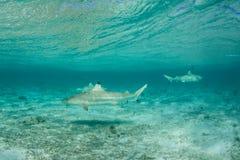 Blacktip-Haifische 1 Stockbild