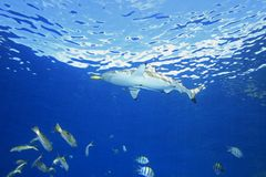 Blacktip Reef Shark Stock Photography