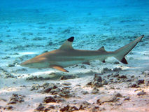 Blacktip Reef Shark Stock Photo