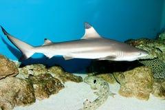 Blacktip Reef Shark Stock Photography