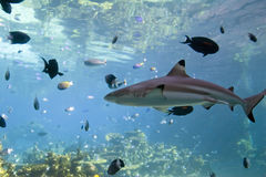 Blacktip reef shark. Underwater view of blacktip reef shark swimming among fish over coral reef in sea Stock Photography