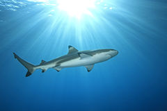 Blacktip Reef Shark Royalty Free Stock Photography