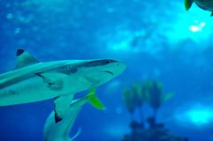 Blacktip reef shark. The blacktip reef shark (Carcharhinus melanopterus) is a species of requiem shark, family Carcharhinidae, easily identified by the prominent Royalty Free Stock Photo