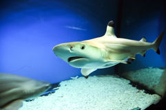 Blacktip reef shark. Carcharhinus melanopterus - one of the species of Requiem sharks, commonly known as blacktip reef shark Stock Photos