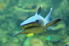 Blacktip reef shark. The blacktip reef shark (archarhinus melanopterus stock photography