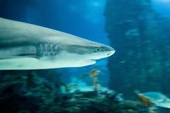 Blacktip reef shark stock images