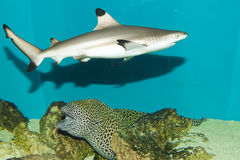 Blacktip Reef Shark in Aquarium Royalty Free Stock Image