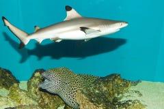 Blacktip Reef Shark in Aquarium. Blacktip Reef Shark (Carcharhinus melanopterus) in Aquarium Royalty Free Stock Image