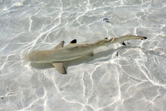 Blacktip reef shark Stock Photos