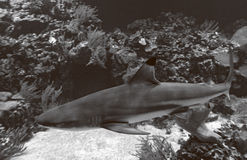 Blacktip reef shark black and white Royalty Free Stock Photography