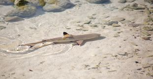 Blacktip reef shark. (Carcharhinus melanopterus) in the shallow water royalty free stock image