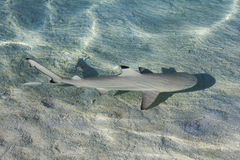 Blacktip reef shark Carcarhinus melanopterus swims in shallow waters royalty free stock photos