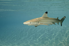 Blacktip reef shark carcharhinus melanopterus 01 Stock Images