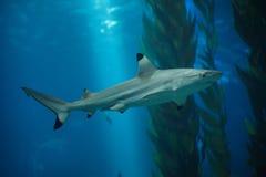 Blacktip reef shark Carcharhinus melanopterus.  stock photo