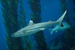 Blacktip reef shark Carcharhinus melanopterus.  royalty free stock images