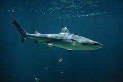 Blacktip reef shark Carcharhinus melanopterus Stock Photo