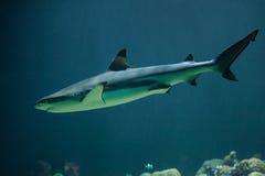 Blacktip reef shark Carcharhinus melanopterus Royalty Free Stock Photo