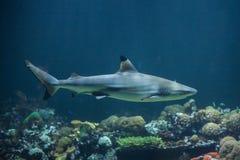 Blacktip reef shark Carcharhinus melanopterus Royalty Free Stock Image
