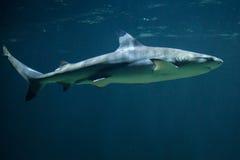 Blacktip reef shark Carcharhinus melanopterus Royalty Free Stock Photos