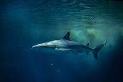 Blacktip reef shark (Carcharhinus melanopterus). Stock Photography
