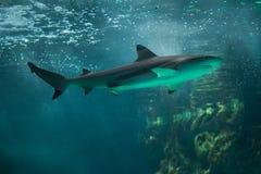 Blacktip reef shark Carcharhinus melanopterus. Stock Images