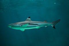 Blacktip reef shark Carcharhinus melanopterus. Royalty Free Stock Photography