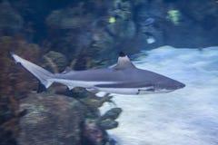 Blacktip reef shark - Carcharhinus melanopterus- saltwater fish. The blacktip reef shark Carcharhinus melanopterus is a species of requiem shark, in the family stock images