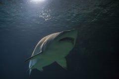 Blacktip reef shark - Carcharhinus melanopterus- saltwater fish Stock Photo