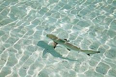 Blacktip reef shark. (Carcharhinus melanopterus) in the shallow water stock image