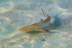 Blacktip reef shark. (Carcharhinus melanopterus) in the shallow water royalty free stock photos