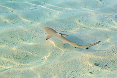Blacktip reef shark. (Carcharhinus melanopterus) in the shallow water stock photography