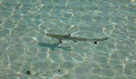 Blacktip reef shark. (Carcharhinus melanopterus) in the shallow water Stock Photos