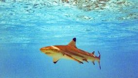 Blacktip reef shark Carcharhinus melanopterus in the shallow water, Maldives. Blacktip reef shark Carcharhinus melanopterus in the shallow water, Maldives stock images