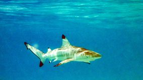 Blacktip reef shark Carcharhinus melanopterus in the shallow water, Maldives. Blacktip reef shark Carcharhinus melanopterus in the shallow water, Maldives royalty free stock images