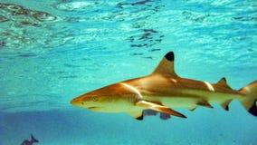 Blacktip reef shark Carcharhinus melanopterus in the shallow water, Maldives. Blacktip reef shark Carcharhinus melanopterus in the shallow water, Maldives stock photos