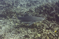 Blacktip reef shark (Carcharhinus melanopterus) Stock Photography