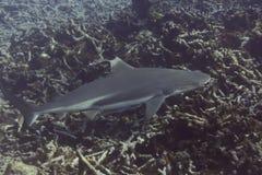 Blacktip reef shark (Carcharhinus melanopterus) Royalty Free Stock Image