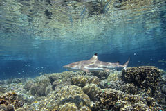Blacktip Reef Shark. A Blacktip Reef Shark, Carcharhinus melanopterus, swimming over shallow coral reef. Uepi, Solomon Islands. Solomon Sea, Pacific Ocean Royalty Free Stock Photography