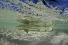 Blacktip Reef Shark Carcharhinus melanopterus swimming at shal. Blacktip Reef Shark Carcharhinus melanopterus swimming over tropical coral reef. Aldabra island stock photo