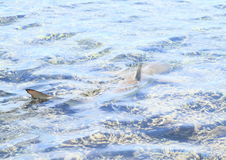 Blacktip reef shark Royalty Free Stock Images