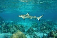 A blacktip reef shark Carcharhinus melanopterus Royalty Free Stock Photography