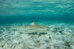 Blacktip Reef Shark Royalty Free Stock Image
