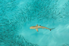 Blacktip Reef shark feeding. Black tip Reef shark feeding in shallow beach royalty free stock photo