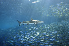 Blacktip Reef Shark and Fish stock photography