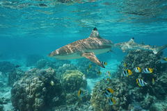 Blacktip reef shark with fish Pacific ocean. Blacktip reef shark with tropical fish Pacific double-saddle butterflyfish and lobe corals underwater in a lagoon stock images